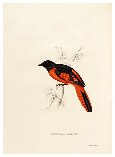 009-Muscipeta Princeps-A Century of Birds from the Himalaya Mountains-John Gould y Wm. Hart-1875-1888-Science Naturalis