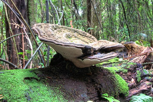 I had this tagged as Ganoderma applanatum, but I'v...