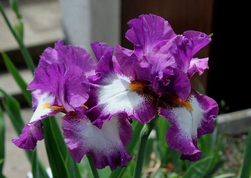 Iris Footlose