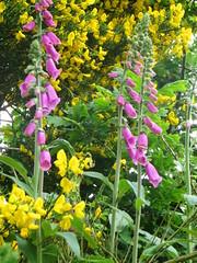 flower, garden, plant, wildflower, flora, digitalis, meadow,