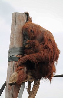 Mother & Baby Orangutang