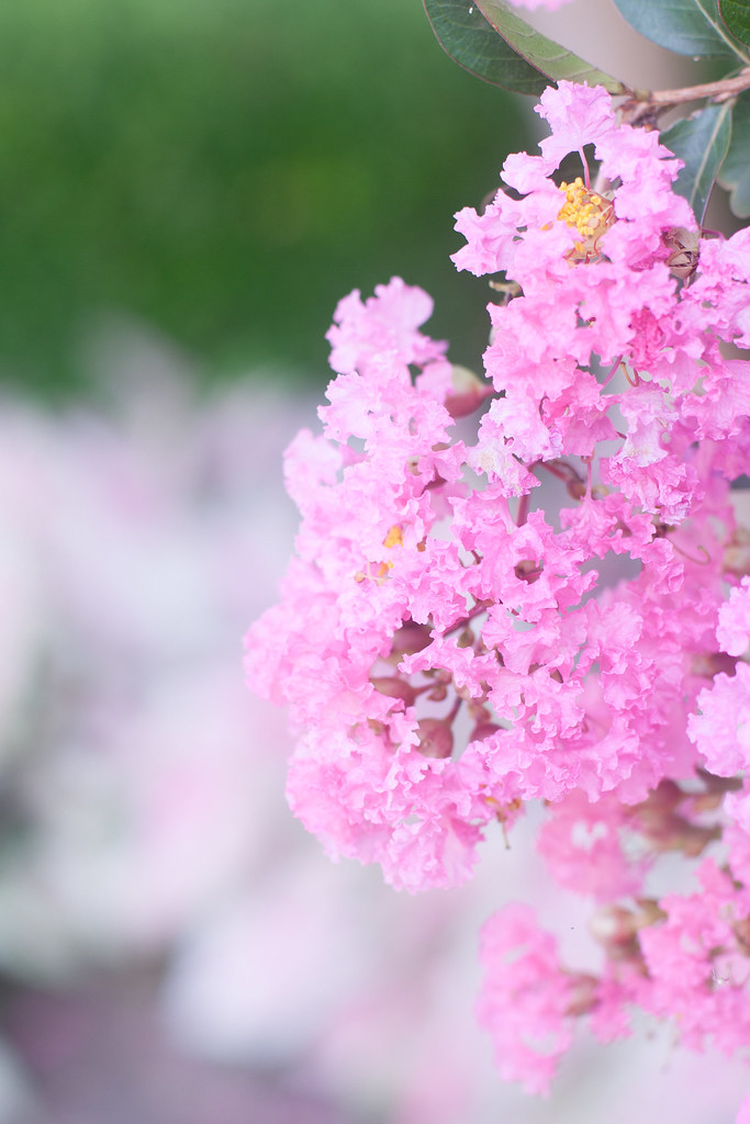 flower, crepe myrtle, blossoms, photography, hobbies, all about me, being a mom