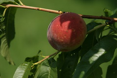 peach, branch, leaf, macro photography, flora, fruit, close-up, apple,