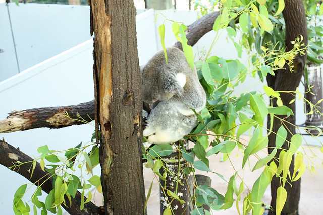 How much can a koala bear?