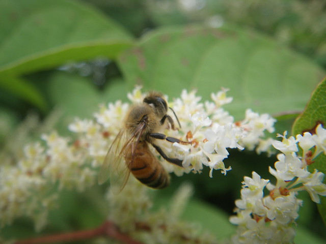 honeybee and japanese knotweed