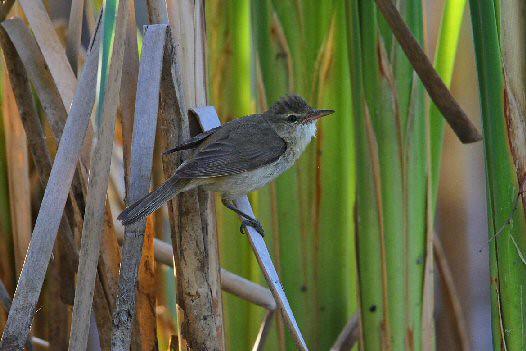 Australian Reed-Warbler N Bartlett