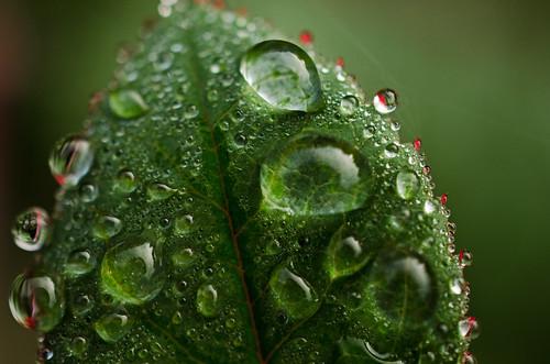 Raindrops and dew on rosebush leaves