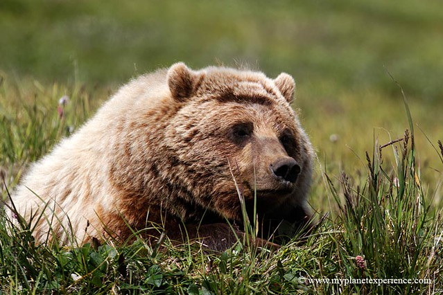 Taking a rest - Grizzly - Denali National Park, Alaska