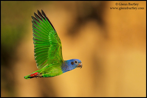 Blue-headed Parrot (Pionus menstruus) by Glenn Bartley - www.glennbartley.com
