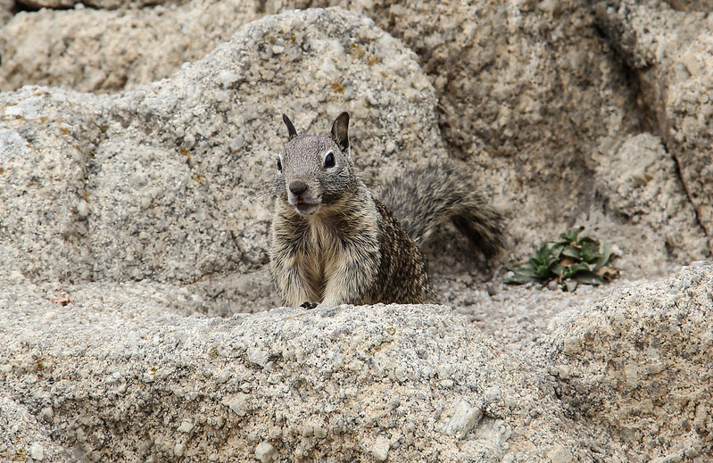 California ground squirrel IMG_9224 by grebberg