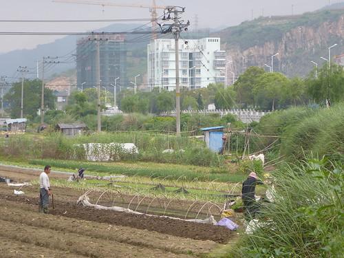 Fujian-Xiapu-Champs (6)