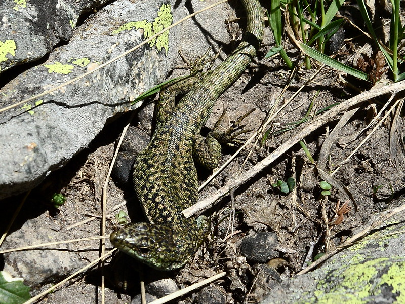 Peñalara. Alpino. Artrópodos, anfibios y reptiles 17555160418_8eb658b654_c