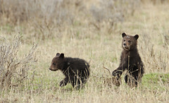 animal, prairie, mammal, grizzly bear, fauna, brown bear, bear, savanna, grassland, safari, wildlife,