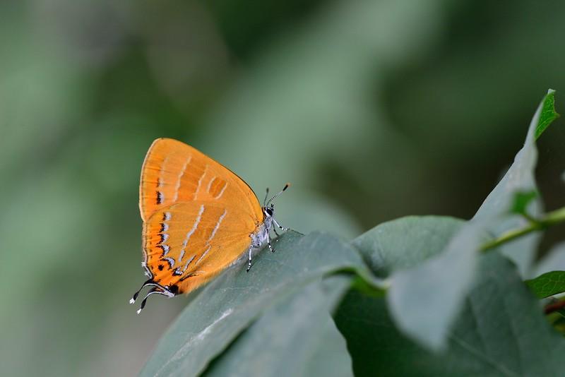 Japonica lutea / The Orange Hairstreak