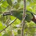 Aulacorhynchus prasinus - Emerald Toucanet - Tucanete Esmeralda - Tucancito Esmeralda 08 by jjarango