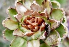 Close-up of mature artichoke