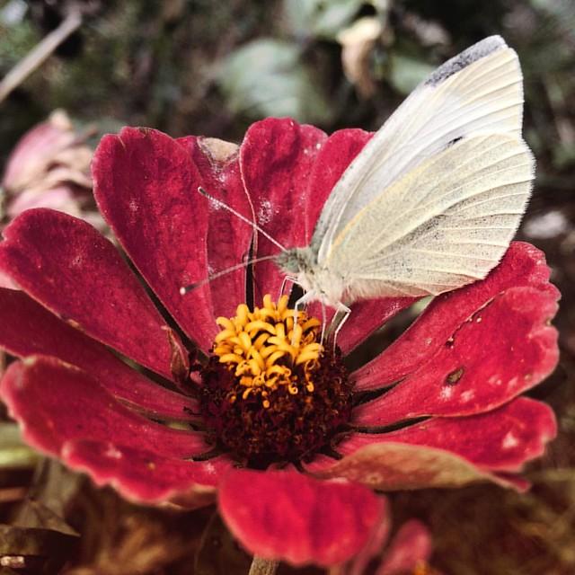 Sulphur and Zinnia #butterflies #sulphurs #sulphurbutterfly #patiogarden #gardens #autumn