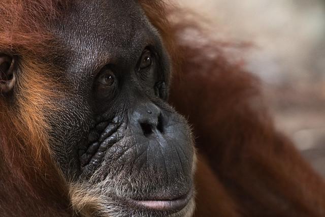 Sumatran Orangutan 34