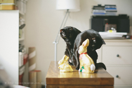 Easter Bunnies and 2 Black Cats, twoguineapigs pet photography 4