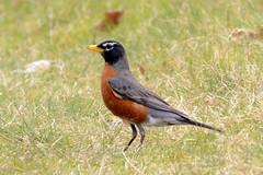 nightingale(0.0), robin(0.0), brambling(0.0), animal(1.0), prairie(1.0), fauna(1.0), common myna(1.0), beak(1.0), bird(1.0), wildlife(1.0),