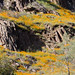 California poppies on rugged rocks