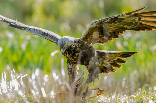 goldeneagle birdofprey aquilachrysaetos mygearandme mygearandmepremium mygearandmebronze mygearandmesilver mygearandmegold mygearandmeplatinum