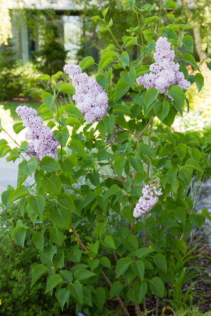 "Harilik sirel ""katherine havemeyer"" / Syringa vulgaris / Lilac 'katherine havemeyer'"