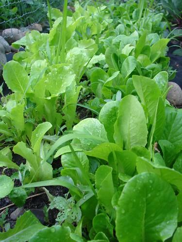 Picture Blog: My  Home Garden + Cilantro Pesto Recipe