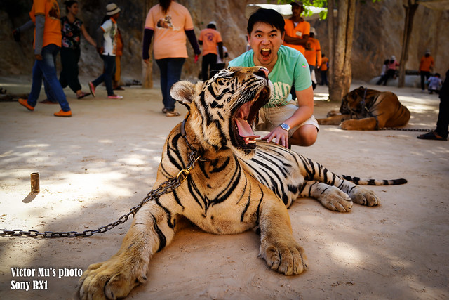 the tiger temple -- Bangkok