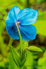 Blue Poppy and Buds