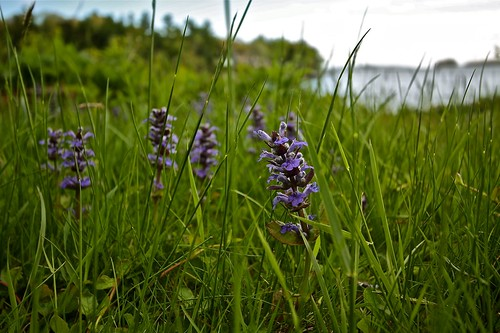 Ajuga by the Sea