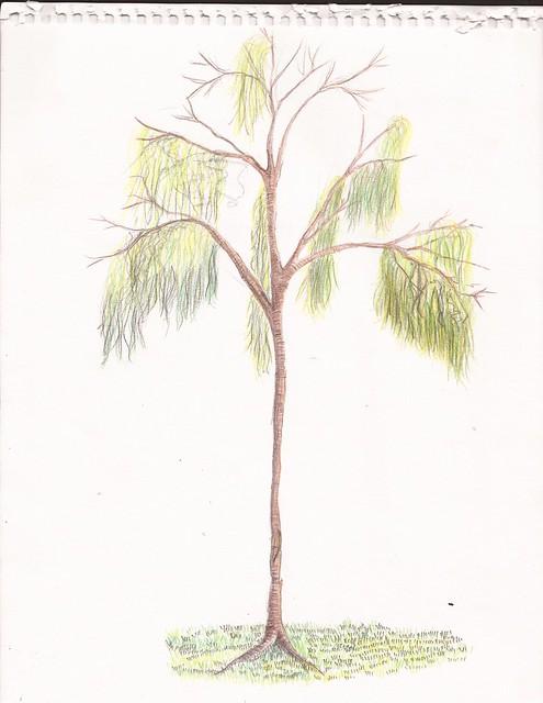 Tree - Jacaranda