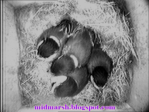 Great Tit Nestlings