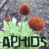 I'm armed with my Safer 3-in-1 and the war is on between me and the aphids on my Coneflower plant!