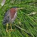 A juvenile Green Heron. by Alexandra Rudge. Thanks for 270.000 + visits!