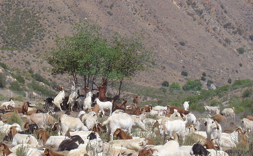 Goats Grazing for Fuels Reduction on the Cleveland National Forest