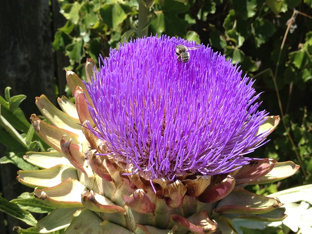 bee on artichoke flower