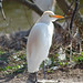 Cattle Egret  (Tom Mabbett)
