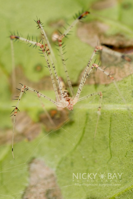 Comb-Footed Spider (Theridiidae) - DSC_3026