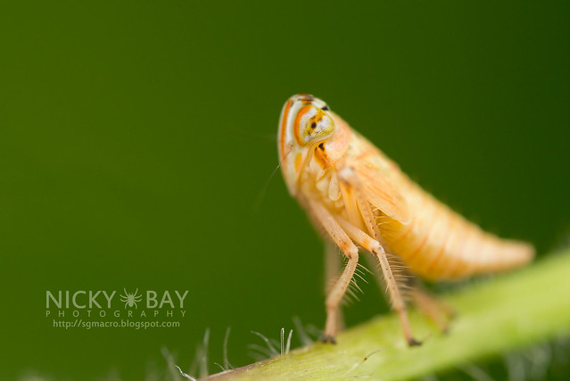 Leafhopper (Cicadellidae) - DSC_2906