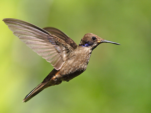 ecuador colibrí mindo colibridelphinae fsuro