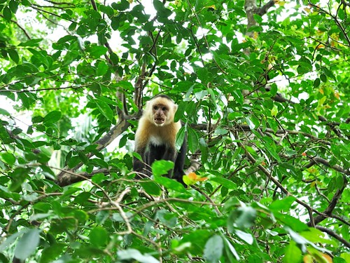 ran into some white faced capuchin monkeys. they weren't as friendly as the baby howler monkeys.