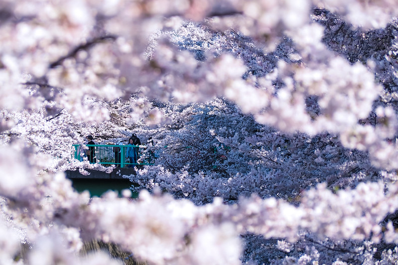 from tree flows what you call sakura 2