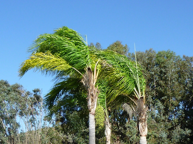 Windy Palm Trees