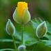 Woodland Poppybuds by laszlofromhalifax