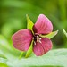 Red Trillium by NeilsPictures