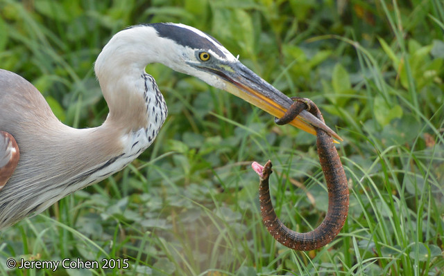 Great Blue Heron (Ardea herodias) eating and fighting a Banded Water Snake (Nerodia fasciata)