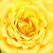 Blooming Yellow Rose