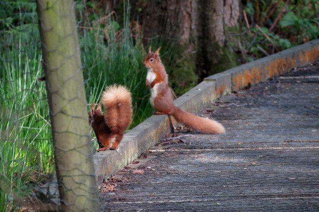 Red Squirrels on Brownsea Island