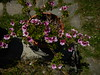 fiori di Enza
